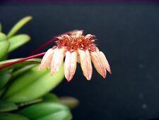 Bulbophyllum sikkimense - Species orchid - Bs Div