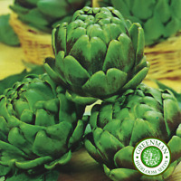 20 Graines de Artichaut, Verte Globe. Graines légumes anciens. Heirloom