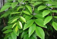 50 Samen Dalbergia odorifera