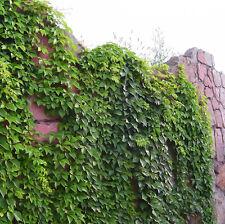 40 Creeper Seeds Boston ivy Japanese Creeper Organic Herbs