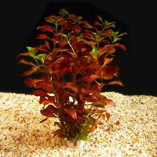 Bunched Dark Red Ludwigia Live Aquarium Plants stems anacharis rotala bacopa