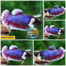Live Betta Fish High Quality HMPK Female Lavender Dumbo - Ready to breed
