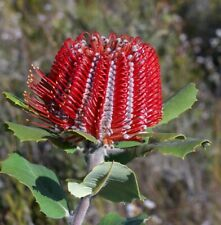 Scarlett Banksia   (Banksia coccinea)   5 seeds