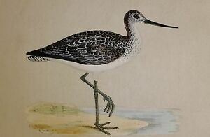 c1875 ANTIQUE PRINT ~ GREENSHANK HAND COLOURED British Birds Morris