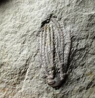 Fossil crinoid - Edwardsville fm, Indian Creek, Indiana