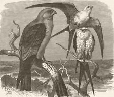 MISSISSIPPI. Falcon & swallow-tailed kite  1895 old antique print picture