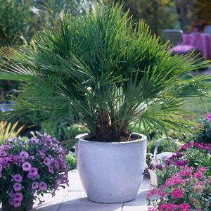 Hardy Fan Palm Chamaerops humilis 60-80cm tall bushy