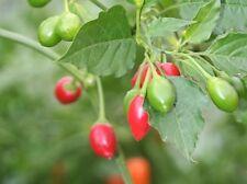 Aji Bolivian Marble roja Chilli pequeñas afiladas chilis enormes plantas