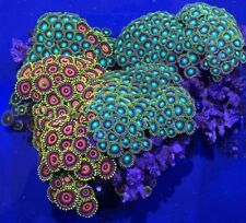 Mini Colony Multi Color Zoanthid Colony Assorted Live Coral 3 Inch Colony.