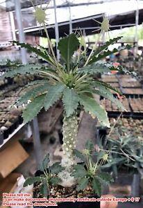 T12.Dorstenia lavrani hybrid#Haworthia ariocarpus Caudex lophopho