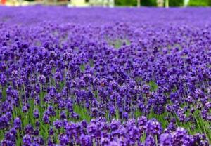 500 True English Lavender Seeds Vera Lavandula angustifolia Herb + Gift