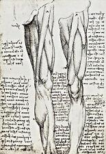 Anatomical studies of the muscles of the leg  Leonardo da Vinci Poster Print