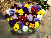 100Pcs Pansy Viola Cornuta Flower Seeds Variety of Choices Colors Very Beautiful