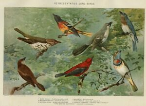 SONG BIRDS Genuine 1902 Signed H. Nichols Natural History Stone Chromolithograph
