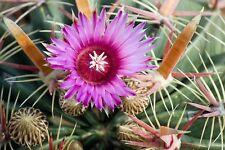 FEROCACTUS latispinus-DIAVOLI lingua Cactus-Semi Freschi