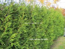 500 + seed - Northern - white - cedar -Thuya - occidentalis - Cèdre - hedge -