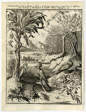 Rare Antique Print-PINEAPPLE-FIG-TREE-LOUA-PARROT-de Hooghe-1682