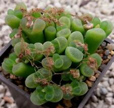 100 SEEDS Conophytum limpidum Rosynebos SH rare mesemb living stones