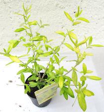 "Corokia virgata ""Banana royal"" kräftige Pflanze im 10,5cm Topf Zierstrauch"