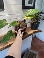 """Philodendron 'Painted Lady' Aroid Plant 8"""" Large Fully Rooted Healthy"""