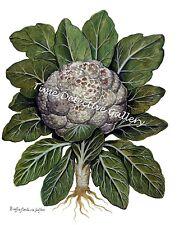 Botanical Illustration of Cauliflower - Historic Art Print