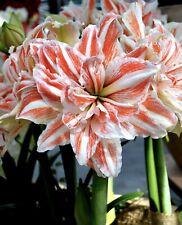 1 Large Heirloom Double Dancing Queen Amaryllis Bulb ~ Stunning Bulbs