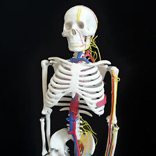 Anatomical Human Skeleton Model w/ Nerves & Blood Vessels 85cm - Medical Anatomy