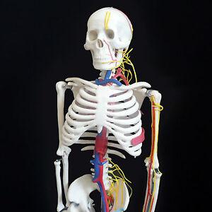 Anatomical Human Skeleton Model w/ Nerves & Blood Vessels 85cm - Medical Anatomy