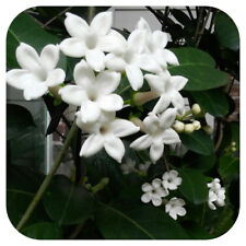 Jasmine Officianle (Jasminum) plug plant