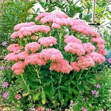 Autumn Joy Stonecrop Sedum x 'Autumn Joy' NICE PINK BLOOMS Shipped Dormant