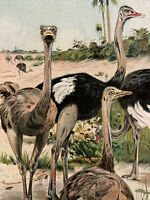 Antique 1901 OSTRICH Color Print Natural History Bird Colorful