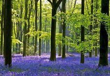 Inglés Bluebell-Semillas Frescas sostenible recopilados-ayudar a salvar vida silvestre ellos!
