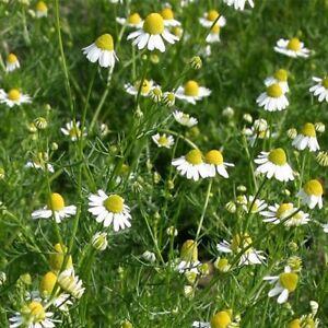 Chamomile Suffolk Herbs Lawn Seeds