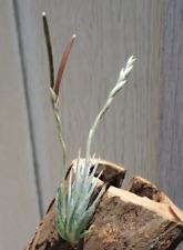 Tillandsia Loliacea Miniature Air Plants