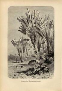 1896 KERNER LITHOGRAPH traveller's tree, or traveller's palm