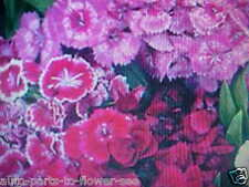 1/32 Pound Sweet William Pink - Red - Purple - White Colors