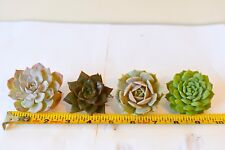 succulent plant with root,4 units Echeveria spp assorted,bareroot free shipping!
