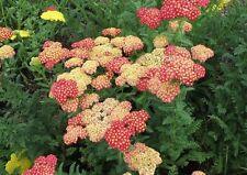 Flower seeds - Achillea millefolium Yarrow Sneezewort Paprika mix Flower