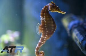Adult Seahorse, Black, Peaceful, Expert Only, Carnivore, ATR