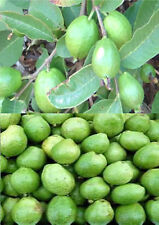 10 Guava Seeds Tasty Sweet Tropical Fruit