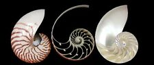 """Triple Sliced Tiger Striped Natural 5 - 6 inch Nautilus Cut Chambered Shells 5"""""""