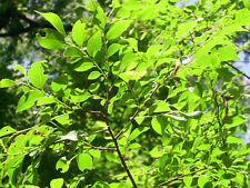 "25 CHINESE ELM SEEDS - ULMUS PARVIFOLIA "" DYNASTY """