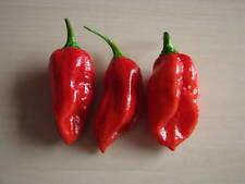 Bhut Jolokia rojo-una de los más ácidos chilis el mundo Capsicum chinense
