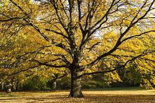 Fototapete Herbst Baum Blätter  - Kleistertapete oder Selbstklebende Tapete