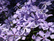 10 Perennial Creeping Phlox Lavender Live Plants Ground Cover - Fast Shipping