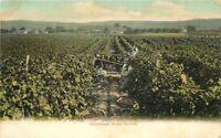Agriculture New York Farming C-1910 Chautauqua Grape Harvest Lamb Cowan 4614