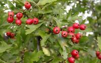 Eingriffeliger Weissdorn - Crataegus monogyna - Hawthorn - 50+ Samen - Saatgut
