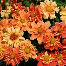 Flower - Kings Seeds - Picture Packet - Dahlia - Sunny Reggae   - 50 Seed