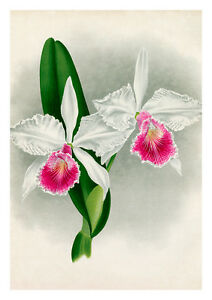 Cattleya Aliciae by Jean Linden Orchids A4 Art Print