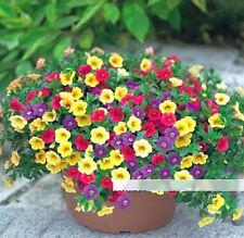 Fd1209 Petunia Seeds Shuttlecock Flower Horn Sweet Potato Bonsai Flowers *50Pcs